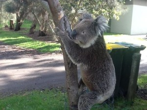 koalas-at-kennett-river
